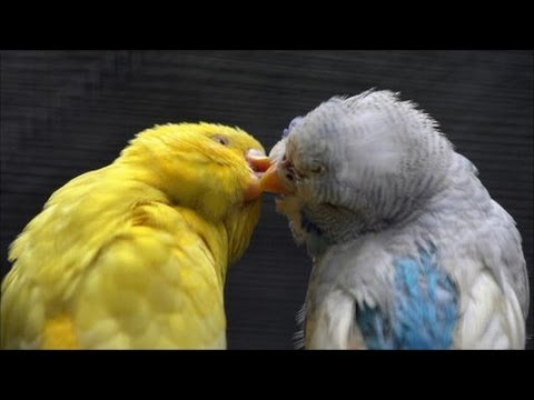 budgies mating in outside aviary parakeet breeding 2017