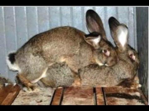 Случка кроликов!! Развязываю