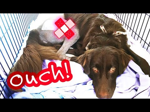 Puppy Surgery Home Prep + BONUS: Theo's FIRST Minutes Home!