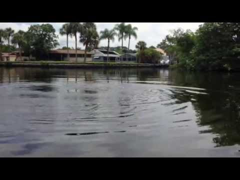 Manatee surfacing in canal in Fort Myers, Florida