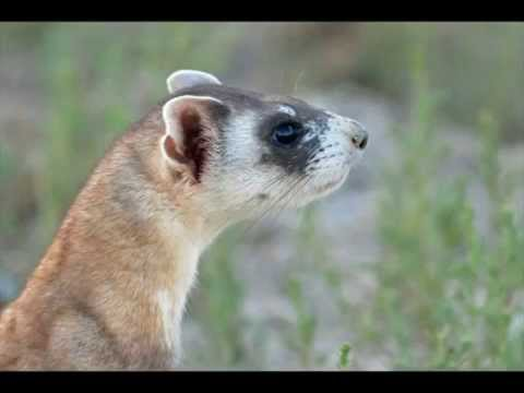 Releasing Black-footed Ferrets into the Wild