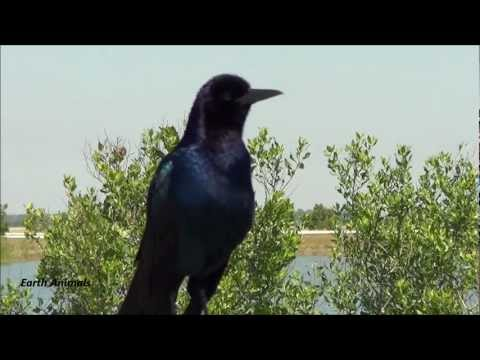 boat-tailed-grackle-sounds-off