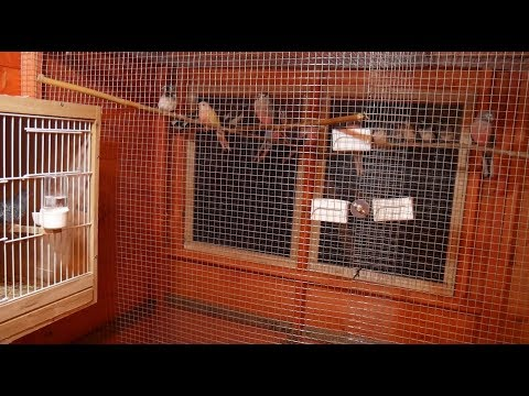New Aviary Shelter Tour - Releasing The Birds - Bourkes Parakeets, Zebra And Bengalese Finch