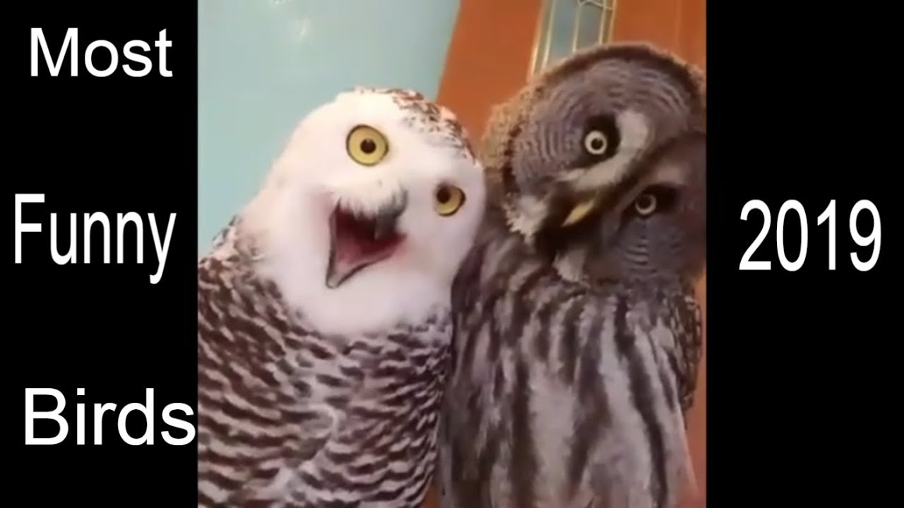 FUNNY Birds || Funny Ducks and Ducklings 2019| Funny Owl