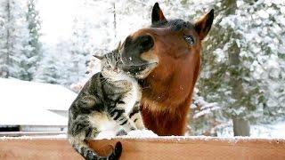 Веселые моменты из жизни козы, лошади, собаки и кошки * Morsomme øyeblikk fra livet av geiter