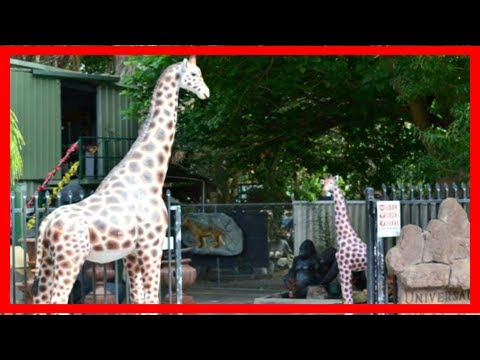 Breaking News | Famous 3.6m giraffe statue found in perth backyard