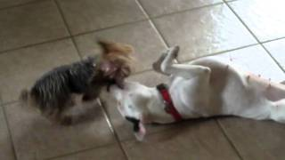 Staffy Vs Yorkshire Terrier: Fight To The Death