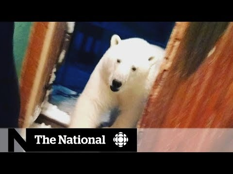 Russian Arctic town struggles with polar bear 'occupation' Mp3