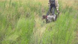 Gun-d Gsp Training At Reliable Kennels Near Yakima, Wa