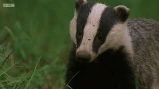 BBC Badgers in the Forest of Dean