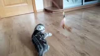 Продам котят Scottish Fold (скоттиш фолд), Украина, Киев, Andy