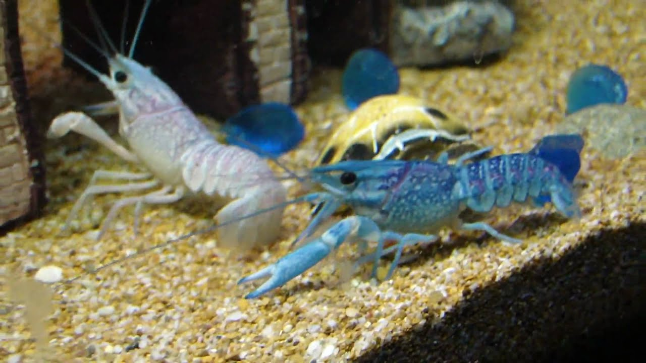 Blue And White Lobster Youtube