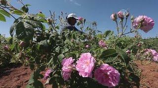 В Болгарии начался сезон производства масла розы (новости)