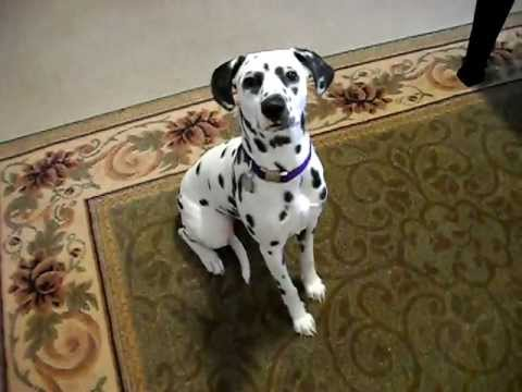Andie the smart dalmatian puppy