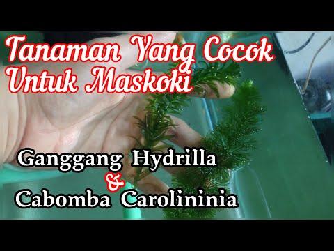 Hydrilla Dan Cabomba, Cocok Untuk Maskoki Dan Aquascape Pemula