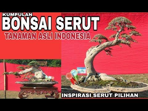 Kumpulan Bonsai Serut Pilihan Terbaik Untuk Inspirasi Membuat Bonsai