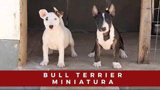 Bull Terrier Miniatura  Mini Bull