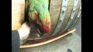 Ultimate Macaw Wine Barrel Nest Box Pt2 Cut In Door & Pre Set Up Examination 'of 4