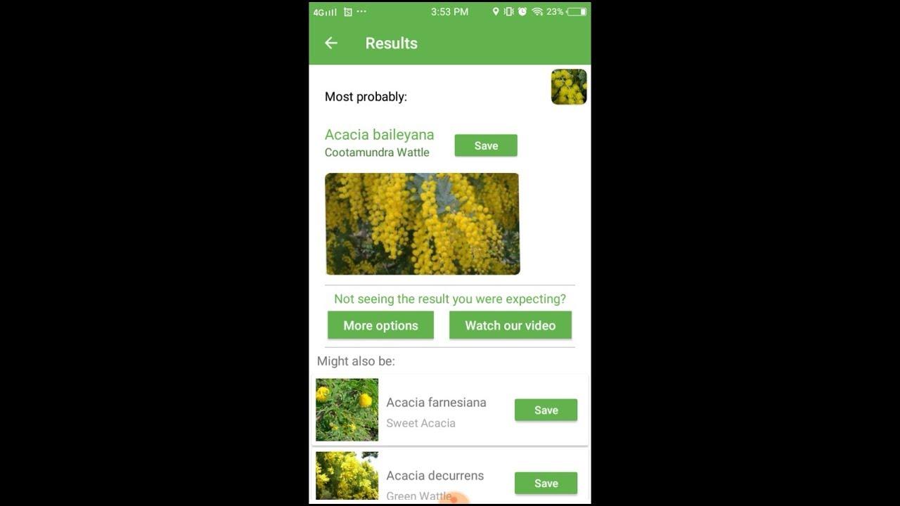 Plantsnap Identifies A Cootamundra Wattle Acacia Baileyana Youtube