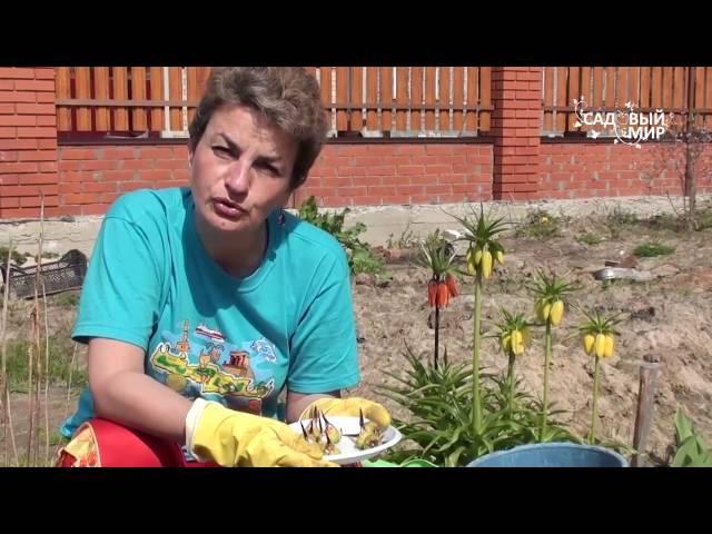 Как выращивать ацидантеру – душистый гладиолус. Сайт