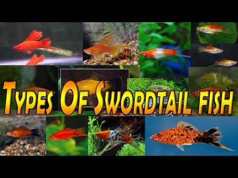 Types Of Swordtail Fish (Xiphophorus Helleri)  Fish Room  Tropical Fish
