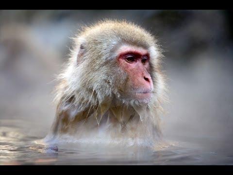 Peaceful Monkeys in the Hot Springs of Japan