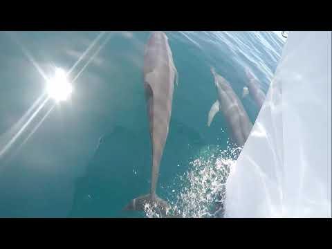 Spinner Dolphins in Fiji