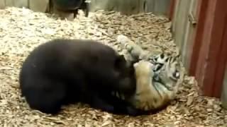 Кто сильнее тигр- или медведь(Пиши в коментах перед началом видео кто победит., 2014-07-08T06:01:01.000Z)