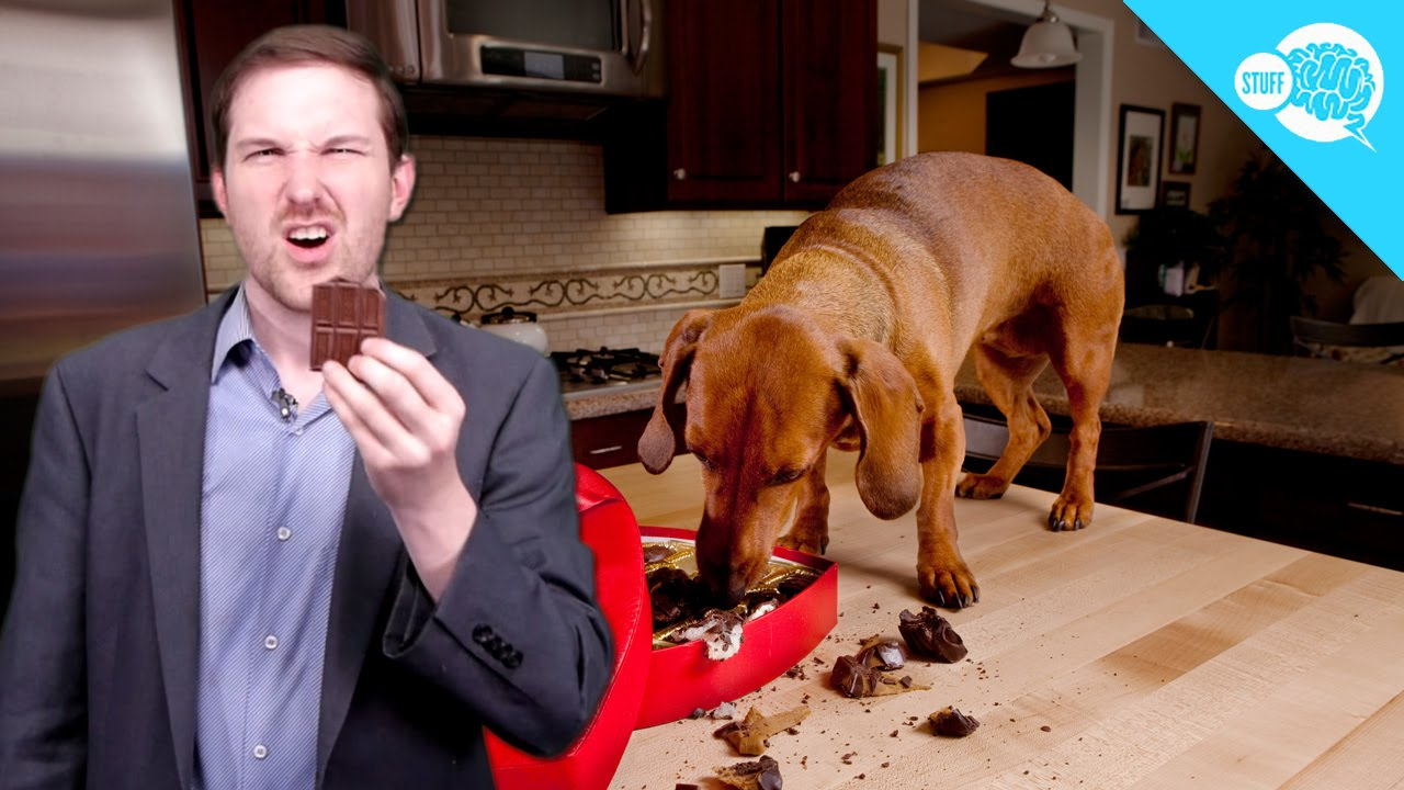 Is Chocolate Poisonous to Dogs? - YouTube