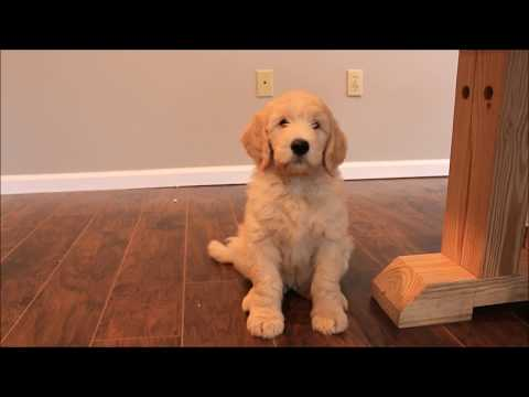 Training 8 Week Old GoldenDoodle Puppy
