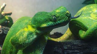 Зелёный питон (Morelia viridis) малыши, и не только