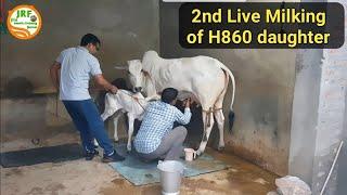 👍(2nd Live Milking) H-860 Bull की बेटी (First Timer) की .👍Bittu पहलवान जी के घर से (9813171130)👍