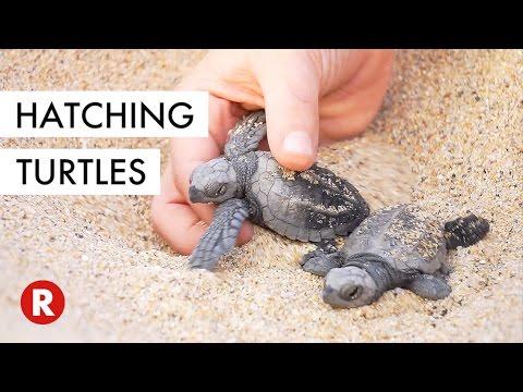 Baby Turtles Released Into The Wild Los Cabos Mexico