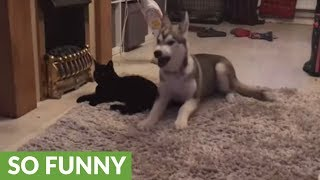 Cat chases off affectionate husky puppy