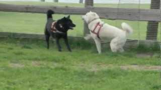 甲斐犬の「芽衣ちゃん」とMIXの「こてつちゃん」とガウガウ遊び。