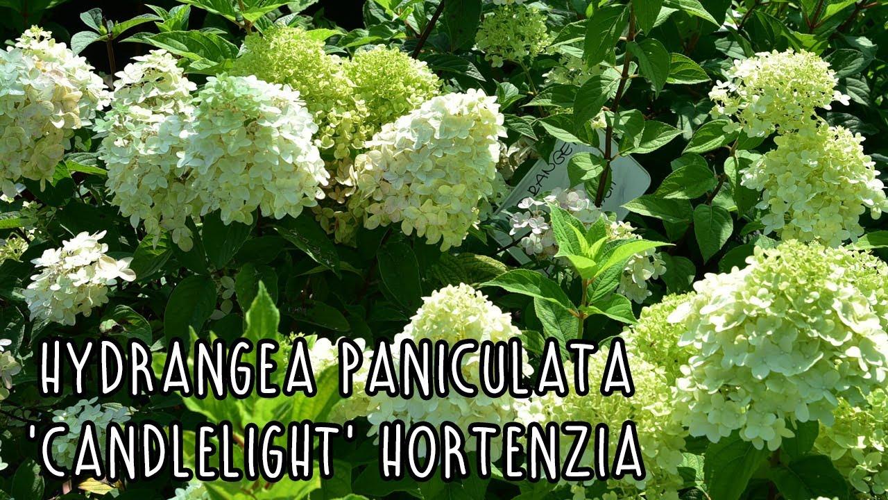 hortenzia paraziták