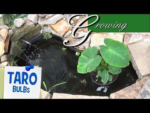 Taro Bulbs Growing Inexpensive Koi Fish Pond Eddo Plants Youtube