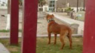 Pitbull Red Nose Apbt Amstaff Fotos Videos