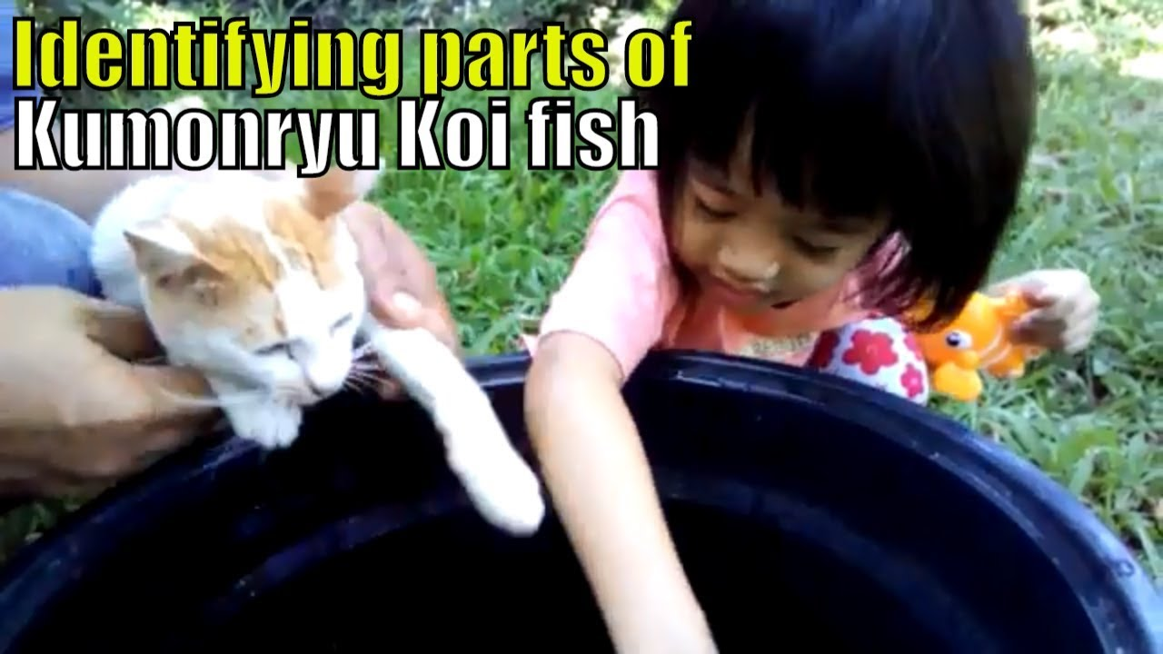 koi fish varieties Awesome! Carly identify parts of kumonryu koi ...