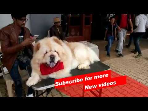 Wow ! Most Amazing dog breeds worldwide | Chow Chow |