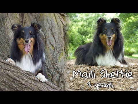 Dog tricks by Maili Sheltie │4 years