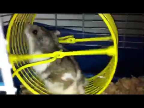 Hamster doing hamster stuff
