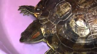 Обзор черепахи Феникс