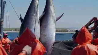 La Almadraba, la pesca tradicional del atún rojo