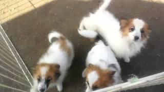 只今(2012.2.11)パピヨン祭りとして、生体価格5万円からのご奉仕です...