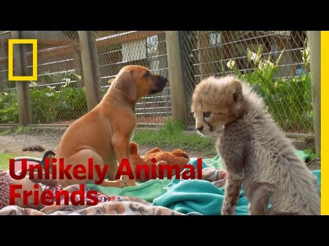 Cheetah Companion | Unlikely Animal Friends