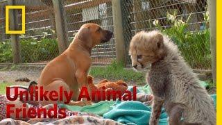 Cheetah Companion | Unlikely Animal Friends
