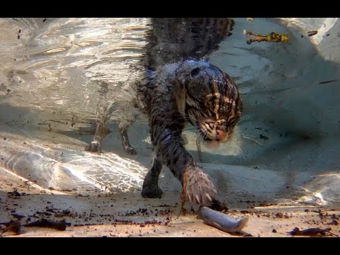 fishing cat underwater youtube