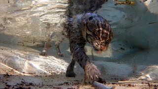 fishing cat underwater