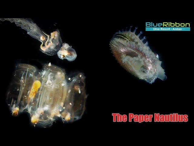 The Dark Ocean - Paper Nautilus - Wildlife Documentary HD